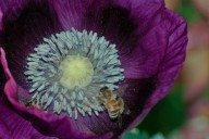 Vince Ferguson - Purple Poppy with Bee-3 - Digital Image